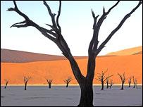 Dead acacia trees, Namib-Naukluft National Park, Namibia