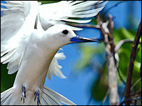 Fairy Tern (picture by John Connell)